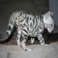A donner chaton tigré bengal urgemment